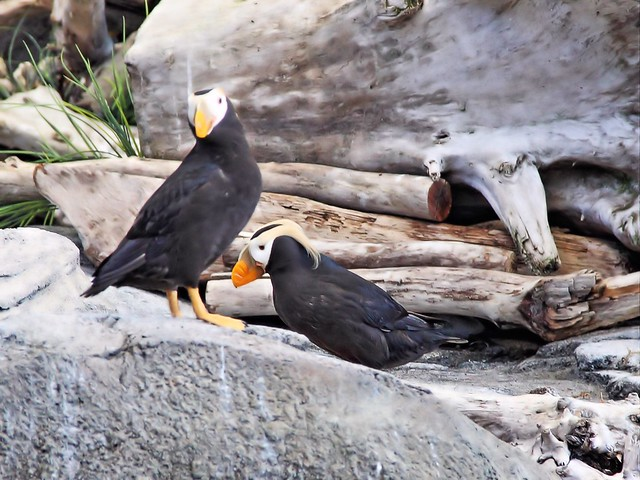 Tufted Puffins Sealife Ctr 20140620