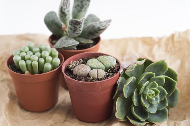 Succulent babies