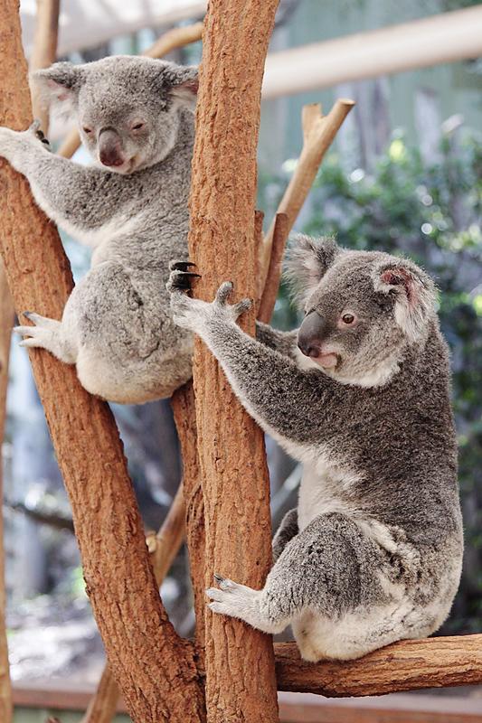 KoalaSanctuary9