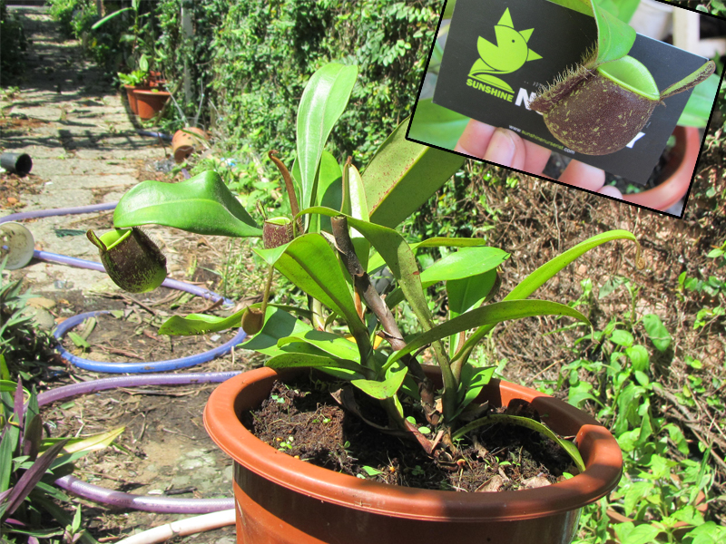 ban-cay-an-thit-nepenthes-ampullaria-black