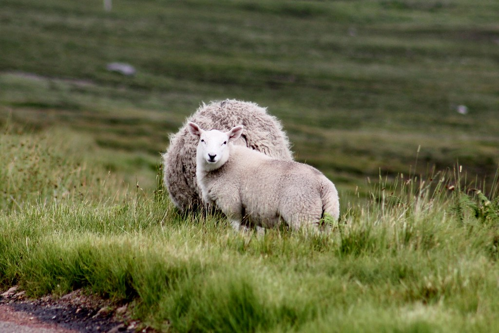 Highlands Sheep II
