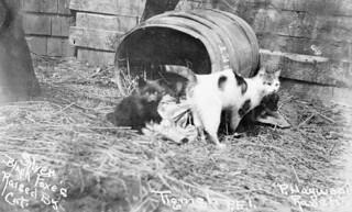 Silver black foxes raised by the cat at the P. Haywood Ranch, Tignish, Prince Edward Island / Renards argentés élevés par un chat sur le ranch de P. Haywood Tignish, Île du Prince Édouard