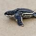 Leatherback Sea Turtle Hatchling, Amelia Island, Florida by DawnaMoorePhotography