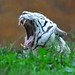 White Bengal Tiger yawning @ Ouwehands Zoo 2014 (Explore12-08-2014) by By Peter Hollander, thanks for + 200.000 views