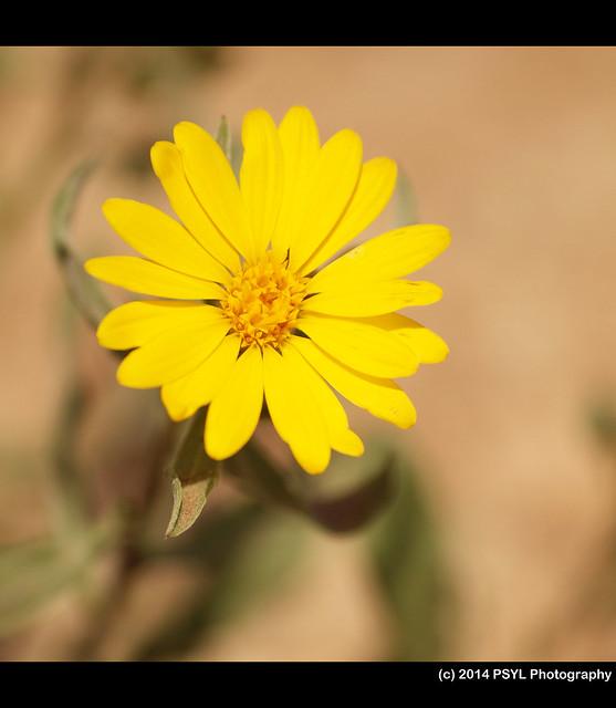 Golden Aster (Heterotheca villosa)