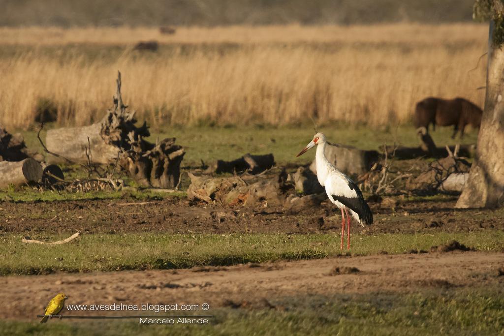 Cigüeña americana (Maguari Stork) Ciconia maguari