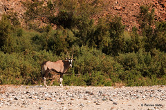 Oryx in the Hoarusib River