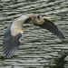 D800 Heron Flight 3743 by Del Hoffman-Thx 8.56 Million Views