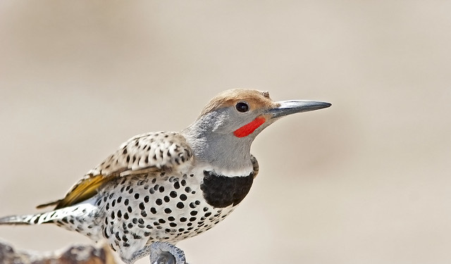 Woodpecker  Gilded (Flicker)_5217