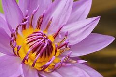 purple waterlily 3