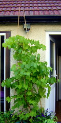 2 grape vines