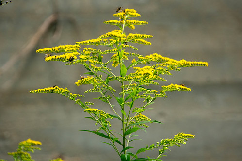 09409 Giant Goldenrod