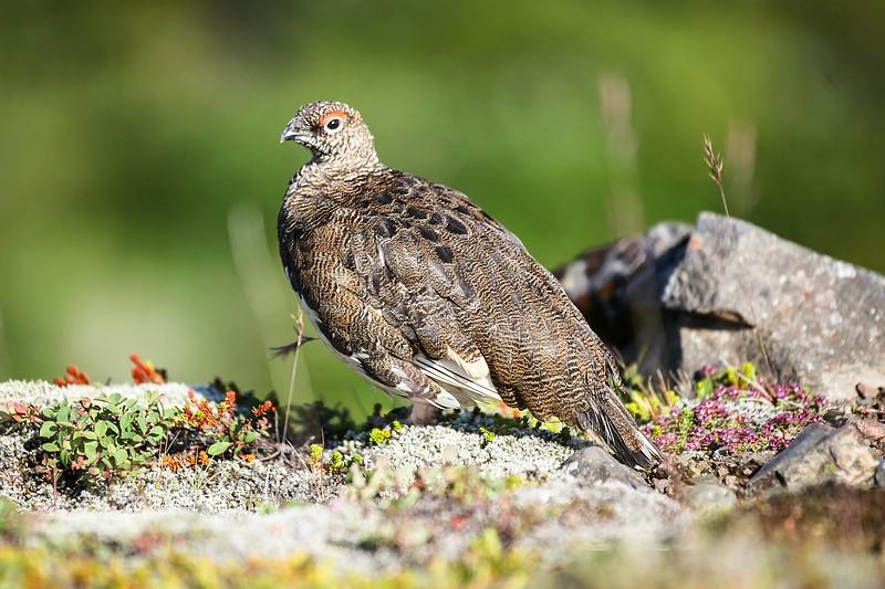 Rock Ptarmigan bird