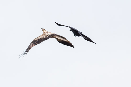Whistling Kite and Crow