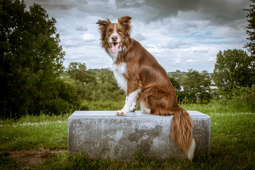 Shasta Border Collie