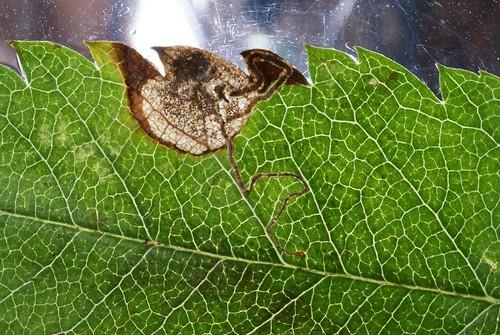 Stigmella sorbi leaf mine