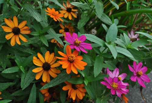 Zinnia 'Profusion Fire' and 'Profusion Cherry'