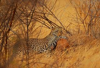 Hunting leopard.