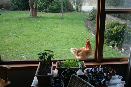Chickens - 2014-08-10 - 01 - Lounge Window