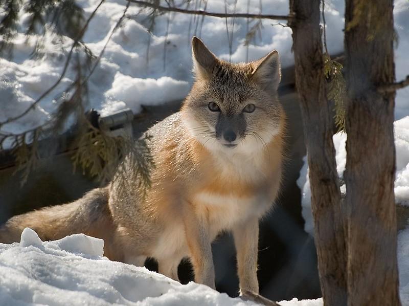 Zoo 17 Swift Fox 022408