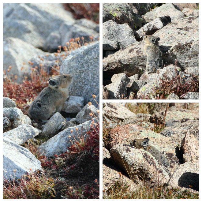 Pikas at Mt Audubon