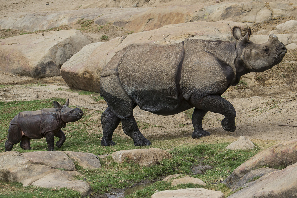 Rhino Birth at San Diego Zoo Safari Park Adds to Greater One-Horned Rhino Breeding Success