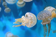 Spotted Jelly