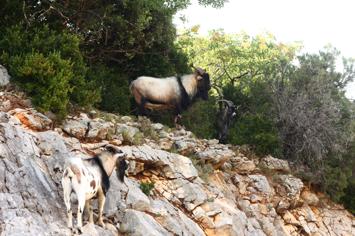 mountain goats ardèche