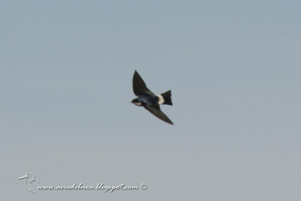 Golondrina patagónica (Chilean Swallow) Tachycineta leucopyga