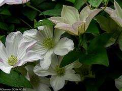 clematis white, mottisfont abbey, jdy186 XX200707058922.jpg