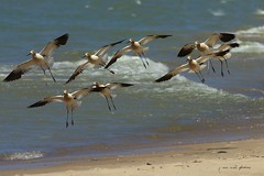 American Avocets, with breeding plumage ~ Recurvirostra americana ~ Great Lakes and Watershed, Michigan (flock)