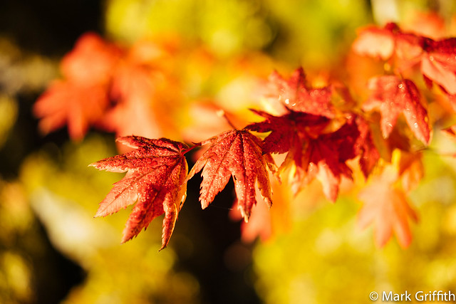 Vine Maple Fall