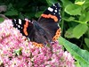 Painted Lady on Sedum