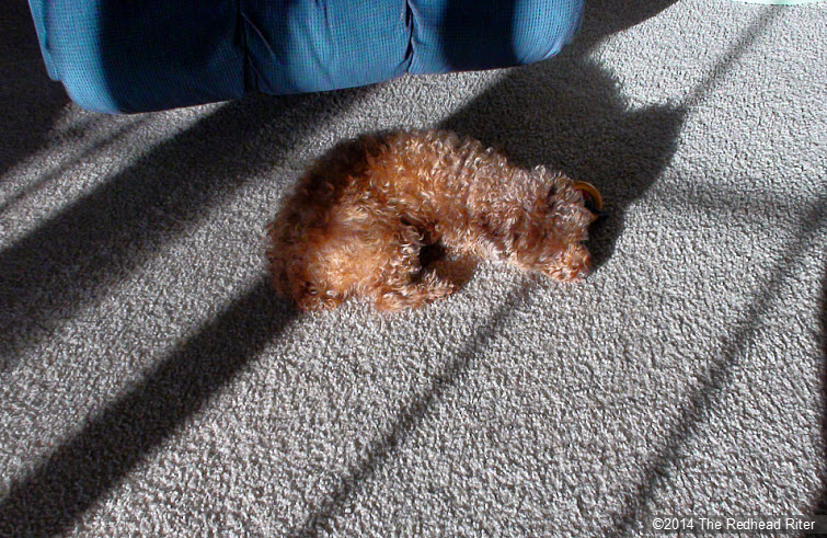 red toy poodle nap sunshine through window