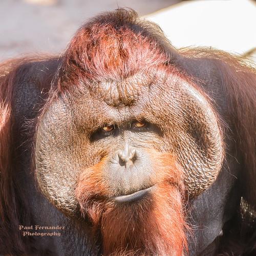tampa zoo florida orangutan lowryparkzoo tampazoo lowrypark tampalowryparkzoo
