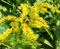 shrub(0.0), produce(0.0), food(0.0), evergreen(1.0), flower(1.0), tree(1.0), plant(1.0), subshrub(1.0), herb(1.0), meadowsweet(1.0),