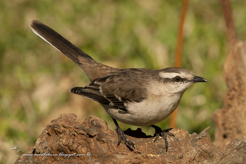 Calandria grande (Chalk-browed Mockingbird) Mimus saturninus