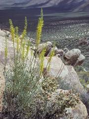 princes plume, Stanleya pinnata plant in flower in landscape