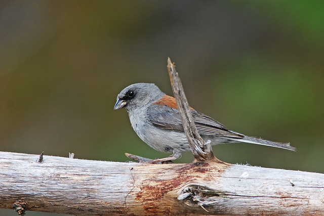 Junco Dark-eyed  (Red Back)_7367