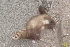 marten(0.0), animal(1.0), weasel(1.0), mustelidae(1.0), mammal(1.0), fauna(1.0), polecat(1.0), mink(1.0), ferret(1.0),