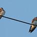 Stelgidopteryx serripennis - Photo (c) Mary Keim, algunos derechos reservados (CC BY-NC-SA)
