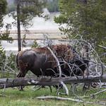 Bison shedding