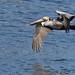 Brown Pelican (Walter Burns)