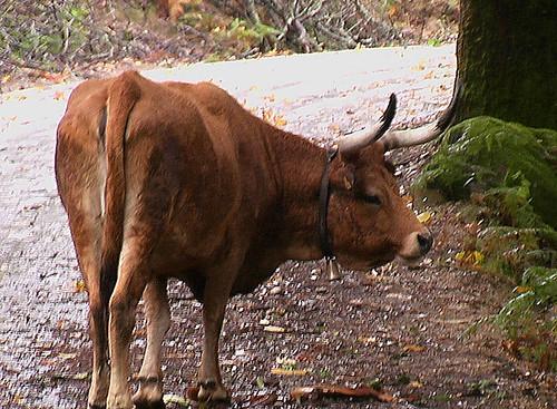 Bos taurus (Portuguese Mountain Cow)