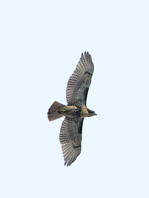 Cathedral Juvenile Hawk - 3793