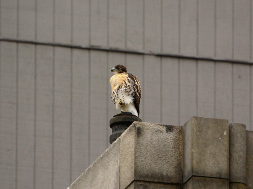 Cathedral Hawk Fledgling #1 (2309)
