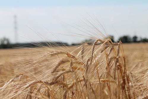 aratás búzamező