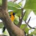 Hooded Oriole (Hugh Tottle)