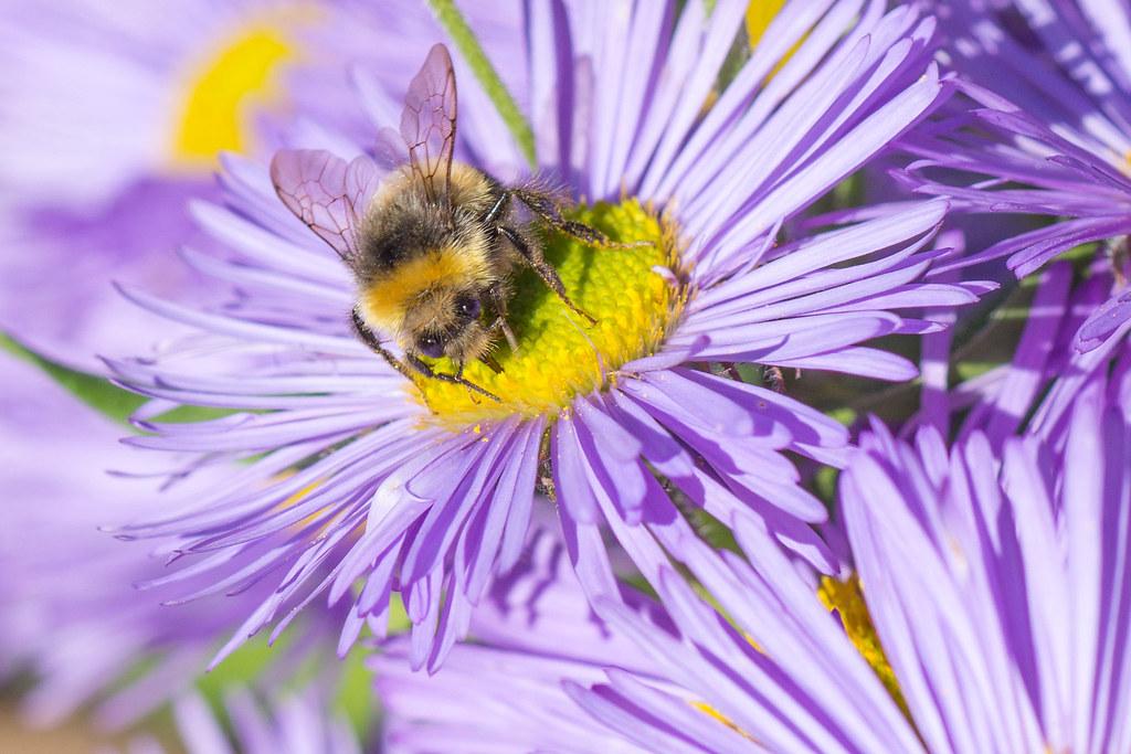 Icelandic Bee @ Akureyri Botanical Gardens