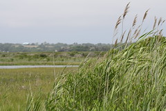 PHOTO: An invasive species known as phragmites, or common reed, is the target for removal this fall along the Nanticoke River, one of the Chesapeake Bay's tributaries. Credit: Tom Sturm/USFWS